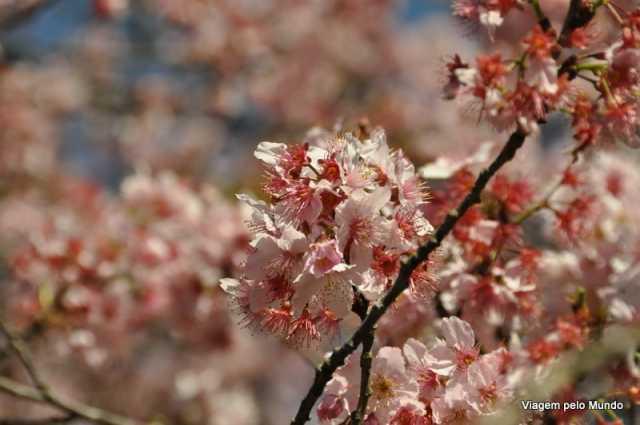 Parque do Carmo e as cerejeiras (1)
