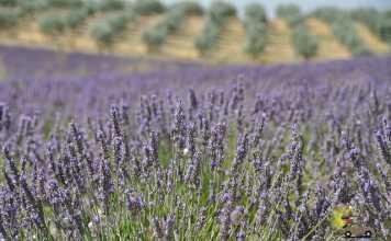 Roteiro campos de Lavanda Provence