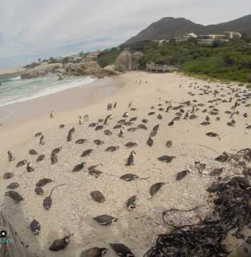 De Cape Town a Boulders Beach: para visitar os pinguins