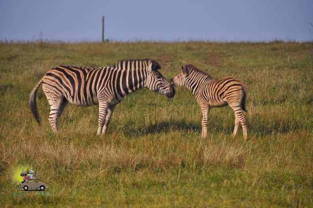 Safari Gondwana-13