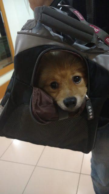 Bolsa Para Transporte De Cachorro Em Avião : Cachorro na cabine do avi?o bolsa de transporte
