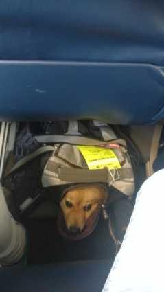 Viagem com cão na cabine: voo United