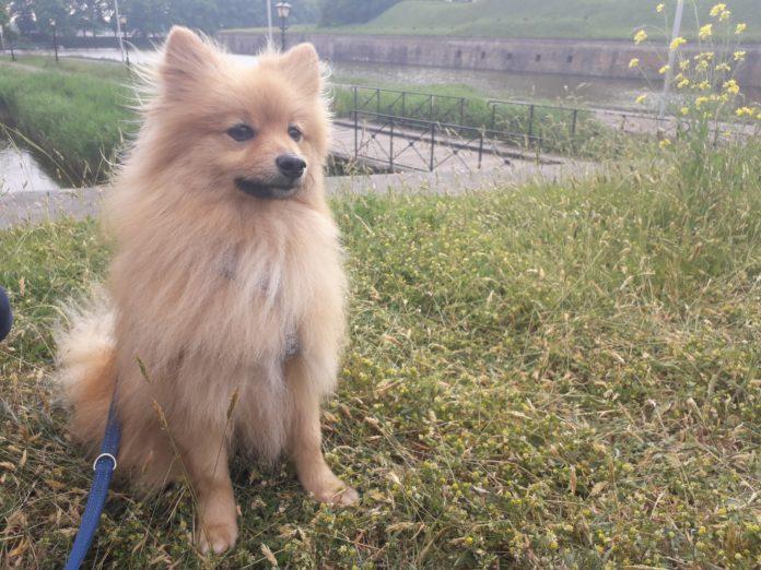 viagem cachorro Holanda